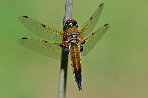 Four-spotted Dragonfly, Precious Dragonfly, Dragonfly