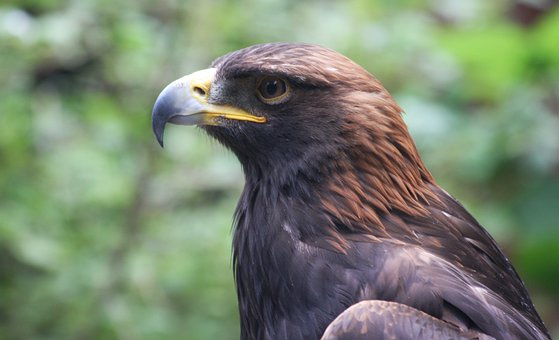 Golden Eagle, Plumage, Feathers