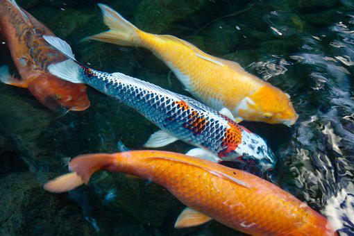 Koi, Fish, Swimming, Carp, Japanese