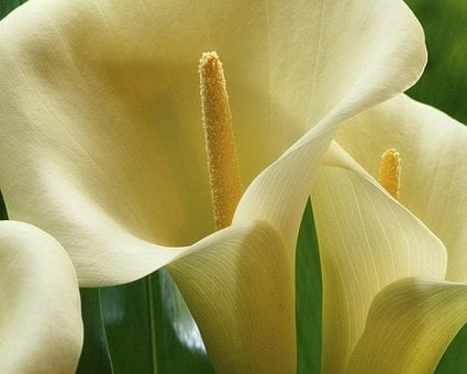Lilies, Flowers, Flora, Plant, White, Beautiful, Calla