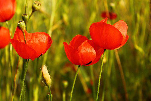 Papaver Rhoeas, Flower, Red, Nature