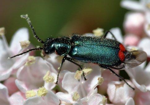 Malachite Beetle, Blue, Insect, Nature, Bug, Beetle