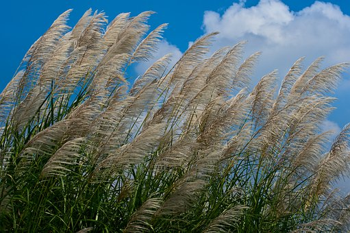 Giant Reed, Miscanthus, Silvergrass, Seeds, Meadow