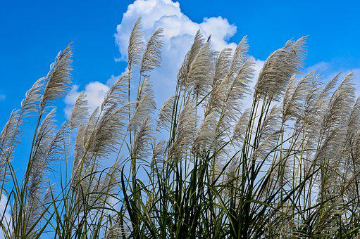 Giant Reed, Seeds, Silvergrass, Miscanthus, Meadow