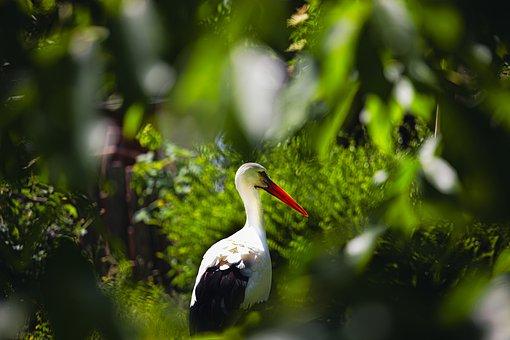 Stork, Bird, Bill, Plumage, Rattle Stork, Nature