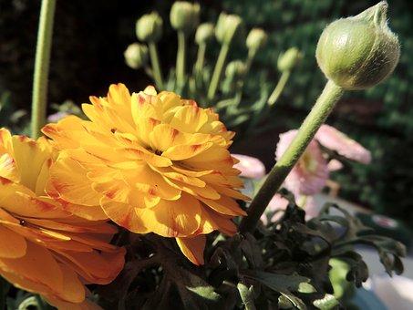 Ranunkeln, Blossom, Bloom, Buttercup, Ornamental Plant
