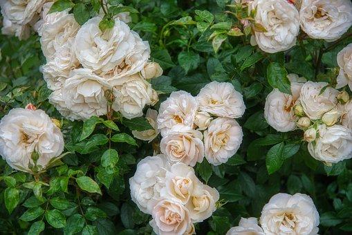 Rose Bush, Rosebush, Rose Hedge, Rose Flower, Roses