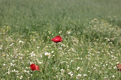 Poppies, Poppy, Papaver Rhoeas, Flower, Red, Summer