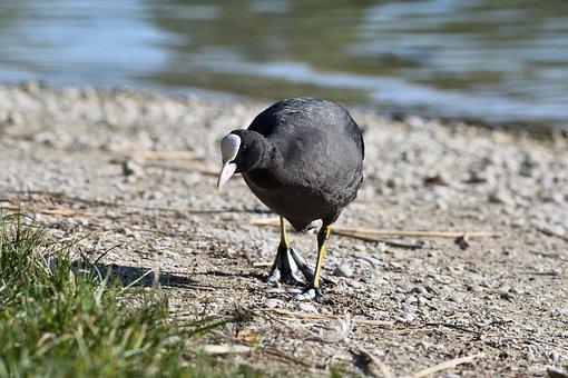 Eurasian Coot, Coot, Fulica Atra, Close-up, Bird