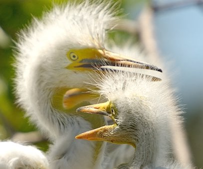 Chick, Egret, Chicks, Nature, Herons, Nest, Wildlife