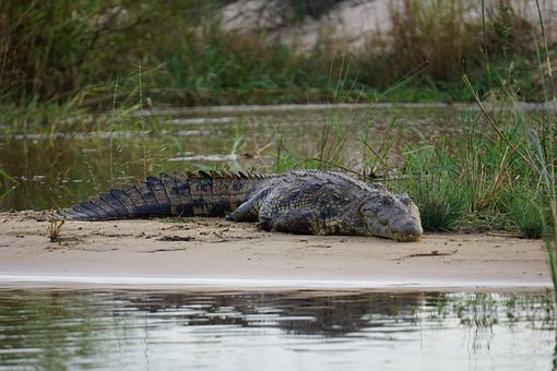 Crocodile, Sambesi, Nature, Wildlife