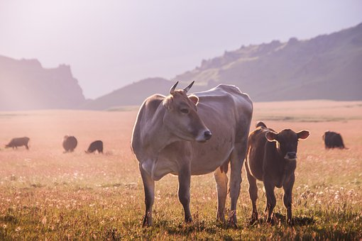 Landscape, Cow, Morning, Mountains, Travel