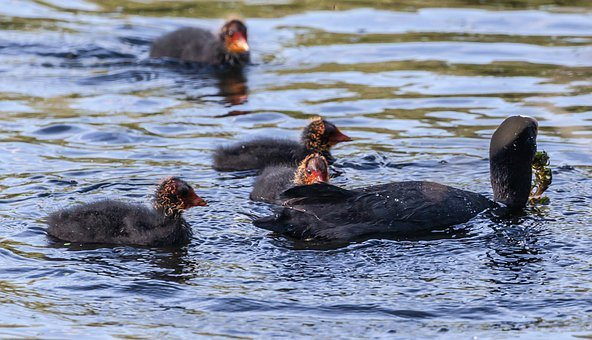Coot With Chicks, Coot Chicks, Ugly Chicks, Coot