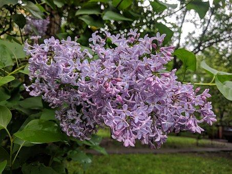 Lilac, Purple, Nature, Spring, Bloom, Violet, Blossom