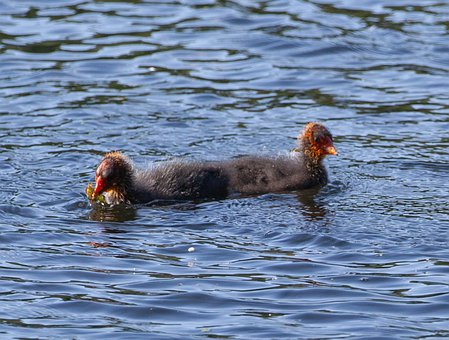 Coot Chicks, Ugly Chicks, Coot, Water Bird, Waterfowl