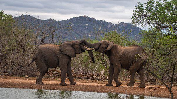 Africa, Elephant, Safari, Animals