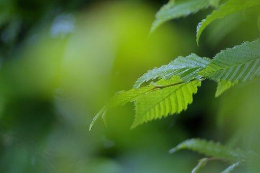 Forest, Beech, Hornbeam, Nature, Background, Spring