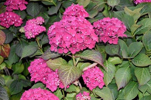 Flower, Flowers, Flowers Hydrangea