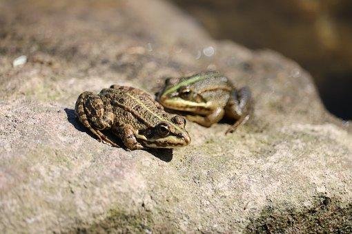 Frogs, Rocks, Nature, Amphibians, Gerardo, Animals