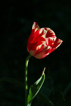 Striped Tulip, Red, Spring, Flower, Nature, Colourful