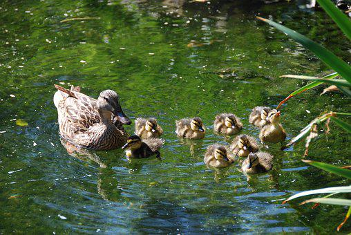 Duck, Chicks, Ducklings, Nature, Animal