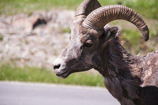 Bighorn Sheep, Wildlife, Ram, Nature, Sheep, Male