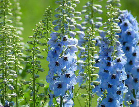 Blue Flowers, Background, Plant, Green, Nature, Flower