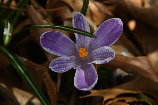 Crocus, Flower, Purple, Violet, Yellow, Tender, Spring