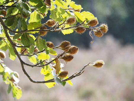 Nature, Beech, Leaves, Color, Green, Nut