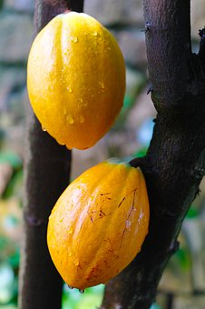Cocoa Beans, Cocoa, Plant, Yellow, Drop Of Water