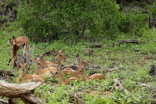 South Africa, Antelope, Wild, Horns, Safari, Small