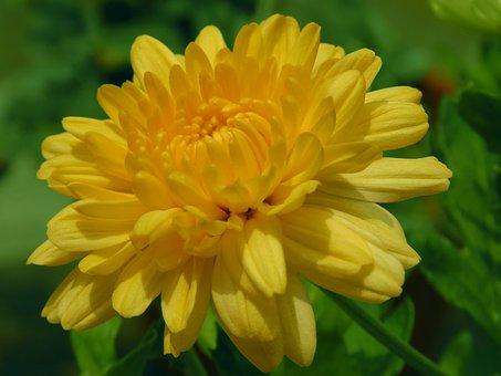 Dark Yellow, Chamanti, Chamanti Flower, Flower, Petals