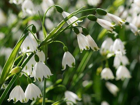 Summer Snowflake, White, April, Leucojum, Flowers