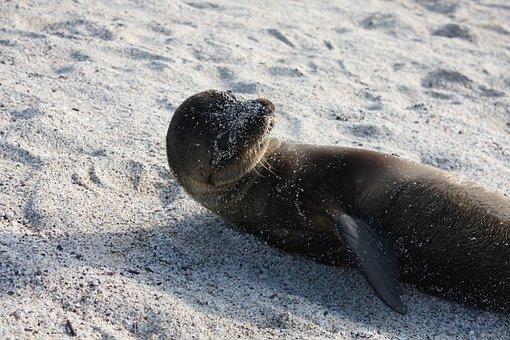 Galapagos, Sealion, Sea Lion, Beach, Animal World