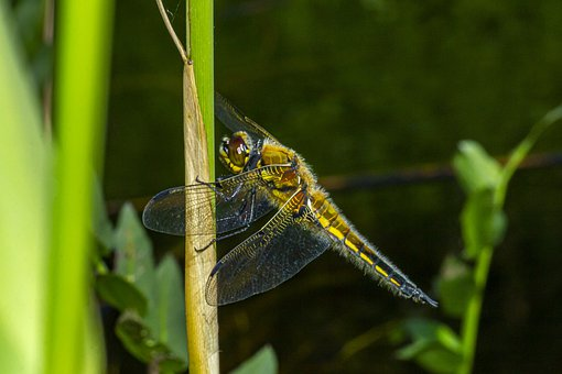 Four-spotted Chaser, Libellula Quadrimaculata, Dropwing