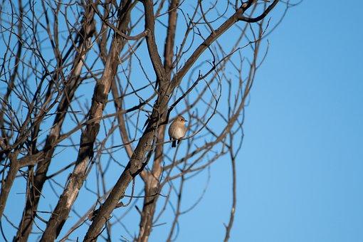 Jacky Winter, Bird, Avian, Wildlife, Feathers, Nature