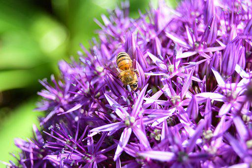 Yellow Bee, Bee, Spring, Ornamental Onion
