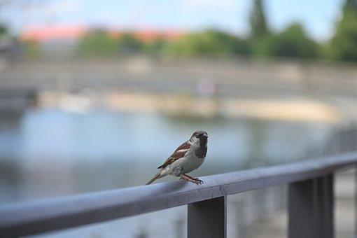 Sparrow, Bird, Sperling, Birdie, Feather, Plumage