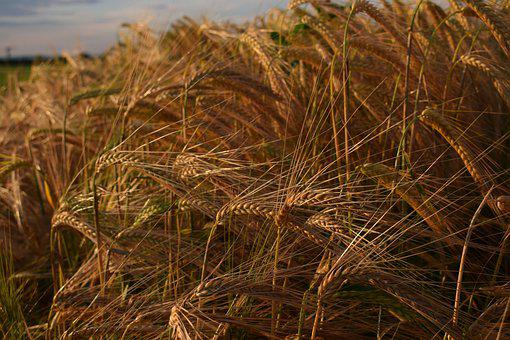 Cereals, Nature, Field, Agriculture