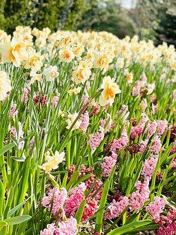 Flowers, Daffodils, Spring, Garden, Plant, Bloom