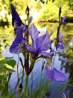 Iris, Iridaceae, Iridceae, Ornamental Plant, Blossom