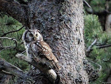 Aegolius Funereus, Little Owl Boreal