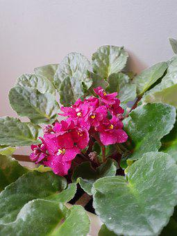 African Violet, Houseplant, Plant, Purple, Green
