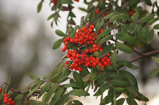 Berry, Autumn, Nature, Vitamins, Barberry, Juice, Red