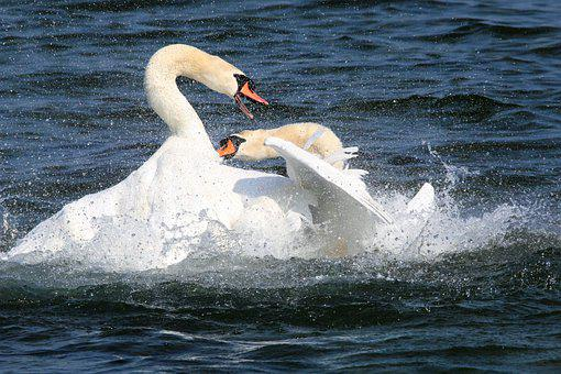 Revier Fight, Swans, Lake, Chase, Water, Bill