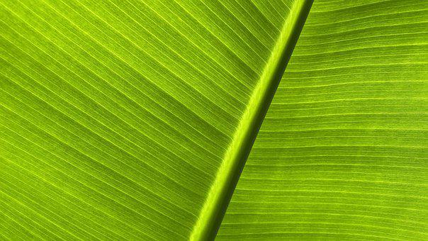 Leaf, Banana Tree, Plant, Green, Tropical, Wall, Leaves