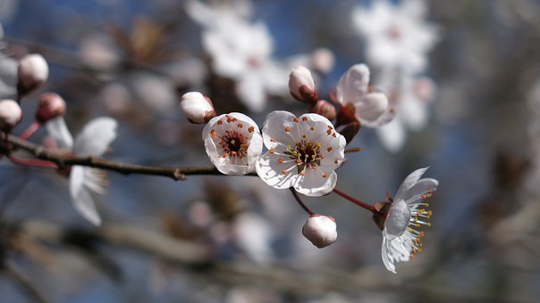 From Mirabelle Plum Tree Flowers, White, Flowers, Bees