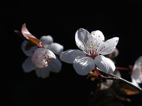 Mirabelle Plum Blossom, White, Bees, Flowers, Spring