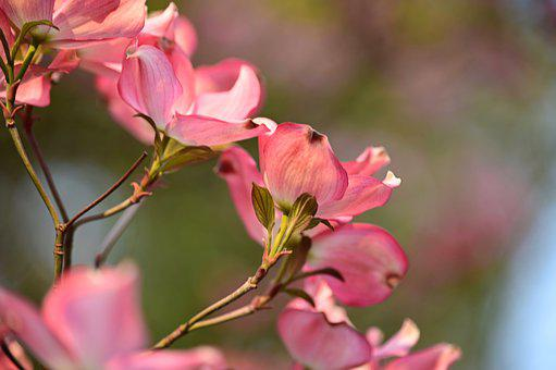 Cornus, Flower Tree, Tree, Spring, Branch, Pink