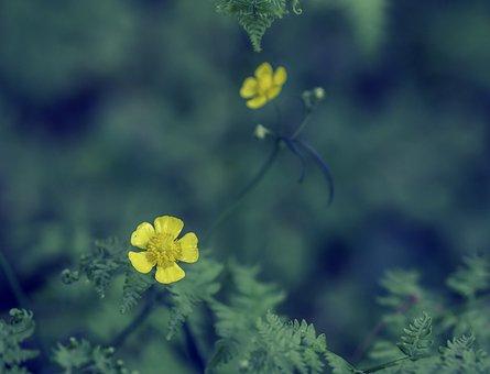 Buttercup, Ranunculus, Yellow, Wild